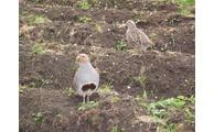 -Das Rebhuhn hat auch in der intensiv genutzten Agrarlandschaft Perspektiven, Foto: Landratsamt Regen