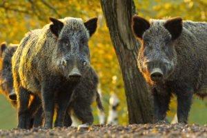 Wildschweine im Wald. Beispielfoto. © AdobeStock.com/taviphoto