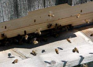 Gesunde Bienen wünscht sich jeder Imker. Zum Schutz der Bestände sollte man den Futterkranz auf Faulbrut untersuchen lassen. Foto: Langer/Landkreis Regen