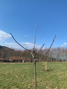 So sollte der Baum nach dem Schnitt aussehen. Foto: Eder/Landkreis Regen