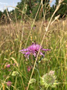 Wiesenflockenblume, Foto: Graf Landkreis Regen