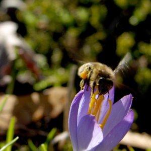 Die Haltung von Honigbienen muss beim Veterinäramt gemeldet sein. Foto: Langer/Landkreis Regen