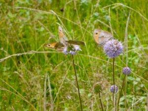 Durch spätere Schnittzeitpunkte findet das Ochsenauge auf dem Teufelsabbiss reiche Nahrung. Foto: Rosmarie Wagenstaller/Landratsamt Regen