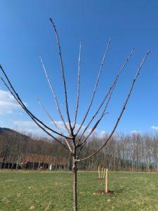 So sieht der Baum vor dem Schnitt aus. Foto: Eder/Landkreis Regen